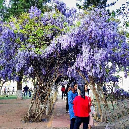 臨沂郯城縣 紫藤樹苗 當年開花