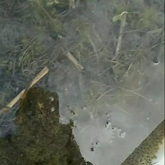 上饒余干縣黑斑蛙 卵塊便宜賣了