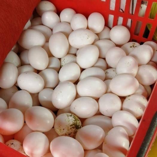 南寧青秀區白鴿蛋 大量批發!找合作伙伴!