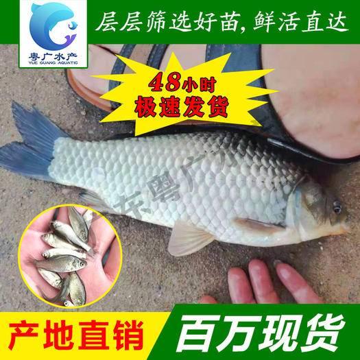 廣州 中科五號鯽魚苗 抗病毒 生長速度快 條形優美
