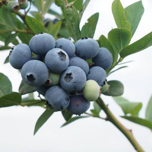 玉溪澄江縣 5000畝藍莓基地鮮果上市,歡迎廣大經銷商,電商等合作共贏