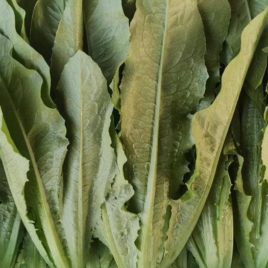 邯郸油麦菜 20~25cm