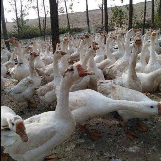 昆明官渡區 云南正宗大三花鵝苗,孵化場直供,可達14斤以上,品質優良