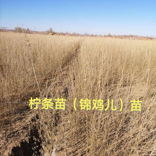 赤峰翁牛特旗 柠条苗批发