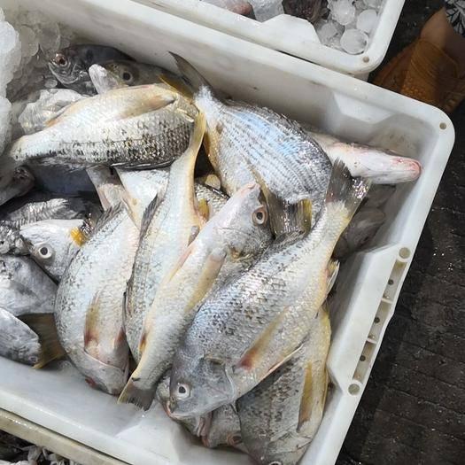 泉州石狮市真鲷 台湾海峡深海黄鲷,活冻