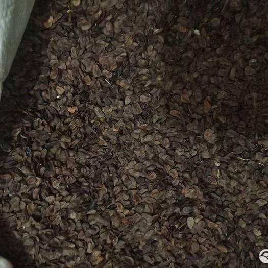 铁岭铁岭县 出售中药材白薇种子