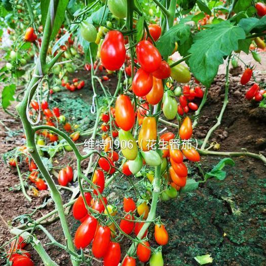 潍坊寿光市千禧圣女果 口感型抗TY病毒红色花生柿子籽花生番茄种子特色花生西红柿种子