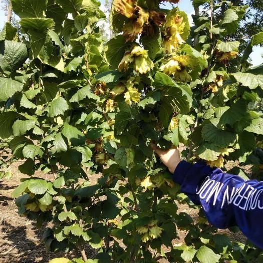 樺甸市榛子樹 出售 達維B21榛子二年樹苗鮮插苗