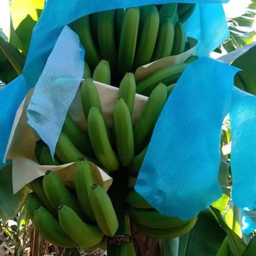 红河河口瑶族自治县 一年四季不断货,长期供应云南河口香蕉,价格随行,只收代办费