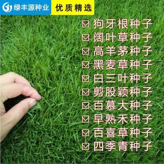 宿迁沭阳县 护坡高羊茅种子,草坪型高羊茅种子批发