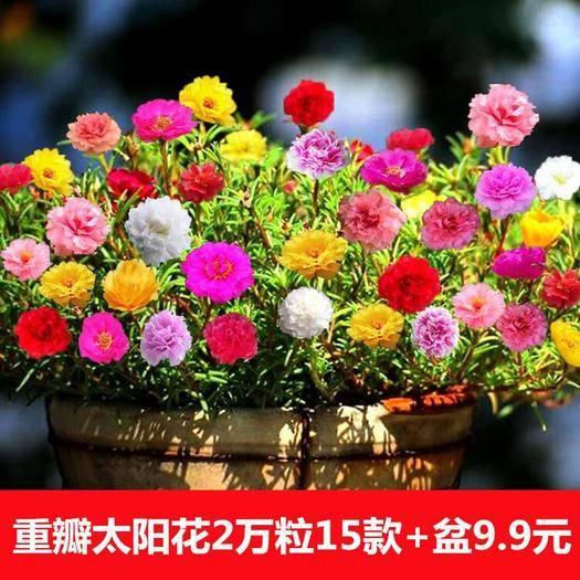 宿迁沭阳县太阳花种子 太阳花种籽花种籽子混色重瓣室内七彩种子易活四季易种
