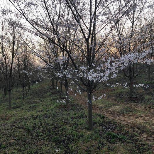 滁州 安徽櫻花苗