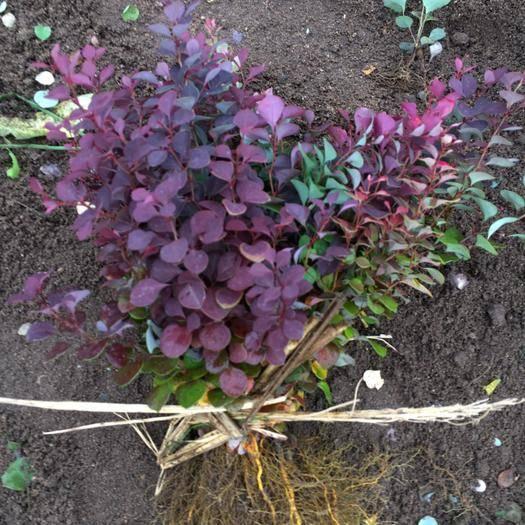 開原市 大量批發 寒地 紫葉小檗 紅葉小檗播種苗 品種純度高 質量