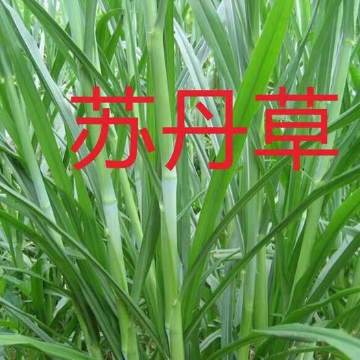 宿迁沭阳县 苏丹草种子牧民的饲料草牛马羊鸡鸭兔爱吃的牧草