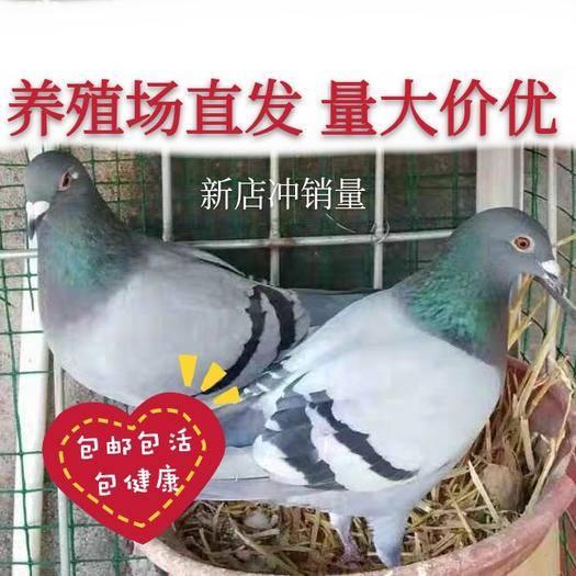 邯鄲曲周縣 鴿子青年鴿子肉鴿信鴿,包活到家,養殖場直發