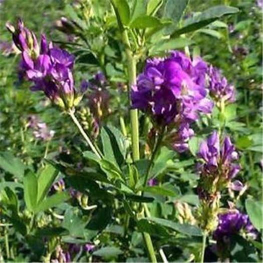 宿迁沭阳县 紫花苜蓿草种子紫花苜蓿牛马羊鸡兔鱼最爱的牧草种子