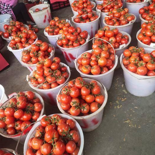米易縣 精品西紅柿