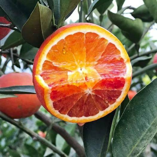 永州祁阳县血橙苗 自产、自销,苗木根系好,成活率99%以上。
