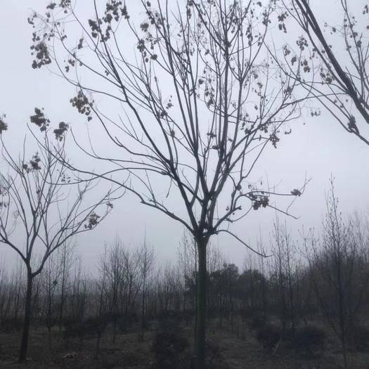 滁州南譙區 欒樹