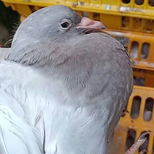 茂名茂南區 特靚灰鴿