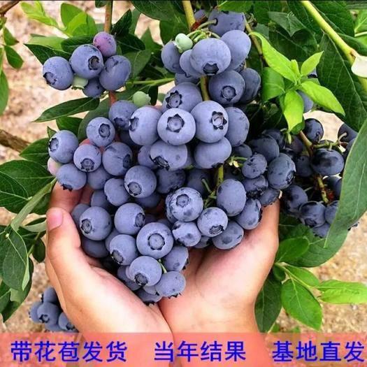 平邑县薄雾蓝莓苗 薄雾/奥尼尔/兔眼蓝莓树苗品种正宗量大从优可实地考察