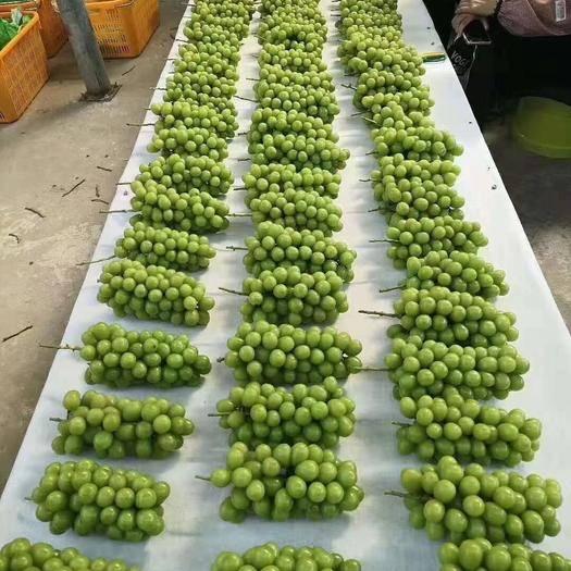 辉县市阳光玫瑰 1.5- 2斤 5%以下 1次果