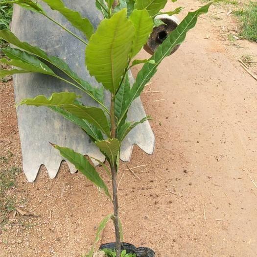 钦州灵山县黄晶果苗 新品种果苗,种有它就等于自己的地位更高。