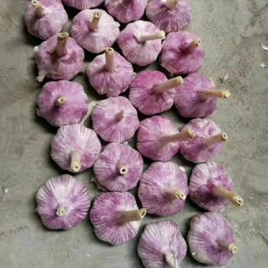 濟寧金鄉縣 山東紅皮大蒜,產地直銷、一噸起售、物流全國
