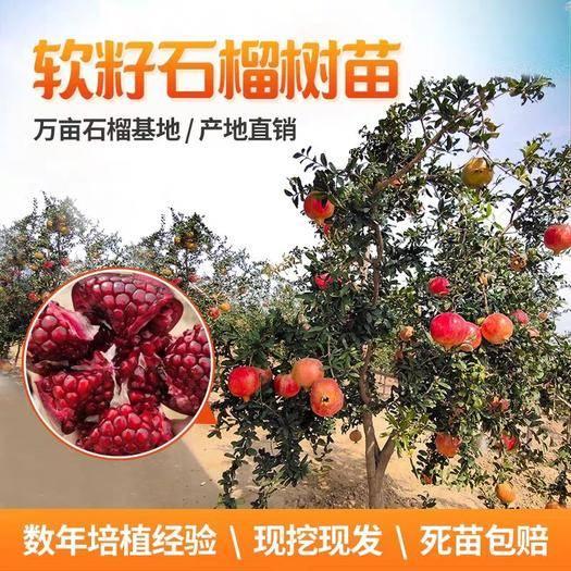 临沂平邑县 嫁接突尼斯软籽石榴树苗 地栽 南北方皆可种植 保证正品