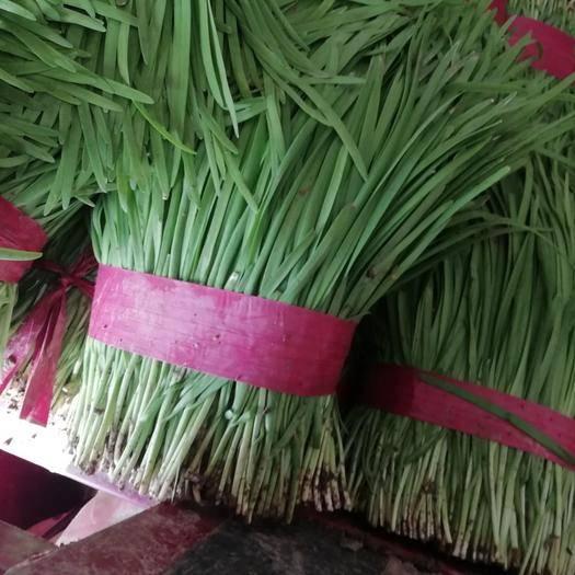 安阳滑县 宽叶浓绿韭菜大量上市,