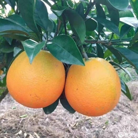 赣州寻乌县 限时促销20元10斤正宗赣南脐橙花皮果小果甜橙子