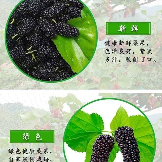 會理縣大十桑葚 新鮮優質紫桑,果園直發,一件代發,供應大型商超酒廠,