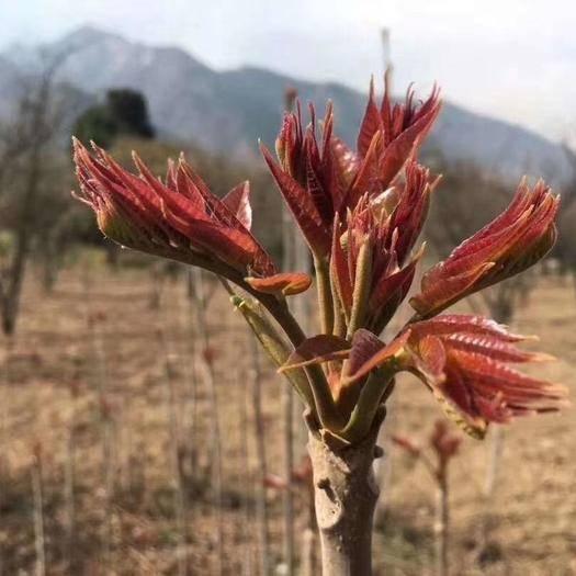渭南大荔县红香椿芽 露天新鲜红香椿加冰袋包邮