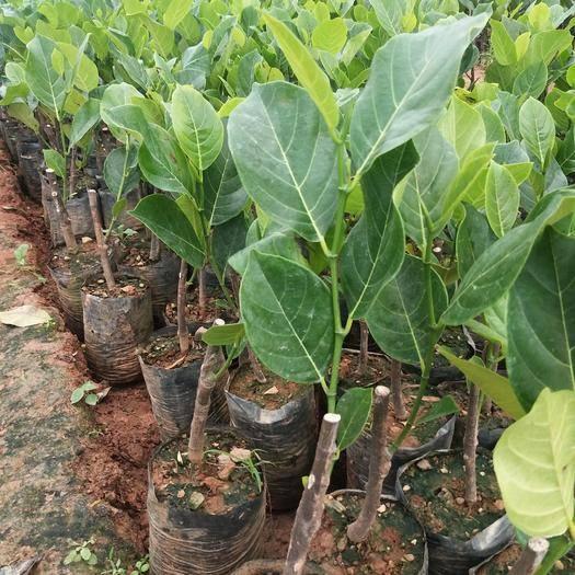 钦州灵山县红肉菠萝蜜苗 新品种泰国十二号菠萝蜜