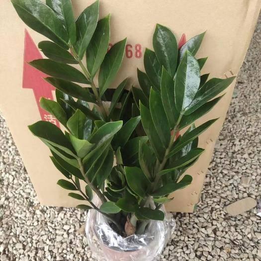 廣州荔灣區 150高版金錢樹