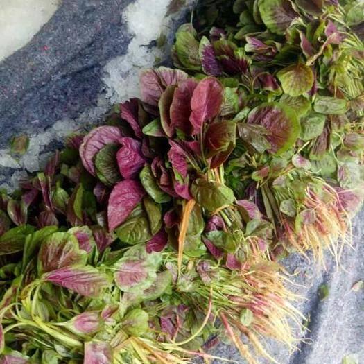 重庆江津红苋菜 20-25cm 紫红