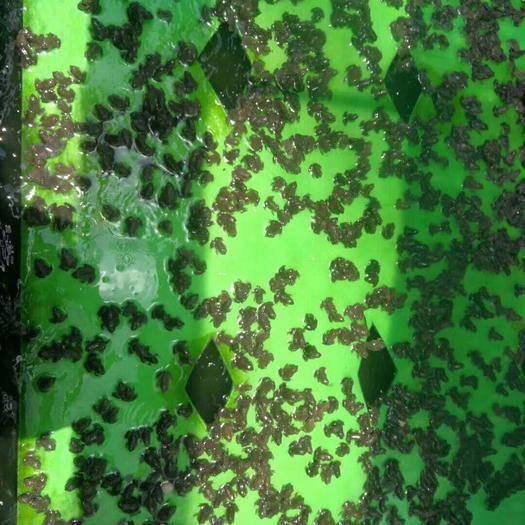南宁江南区美国青蛙 广西南宁良种鱼苗繁殖场