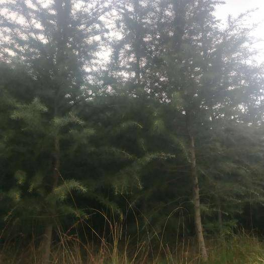 商洛商州區 云南雪松株高4至5米,樹冠至2.5米