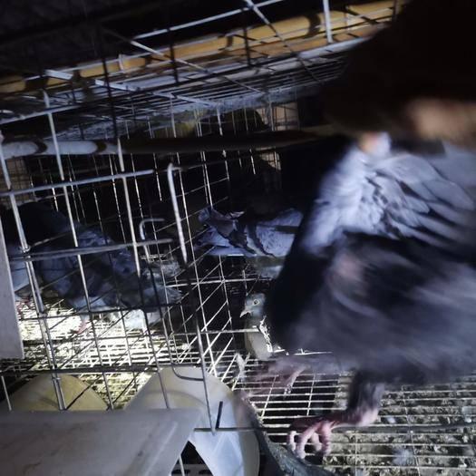 眉山仁壽縣肉鴿 精品乳鴿 基地養殖量大從優 品質保障可實地考察 誠信經營