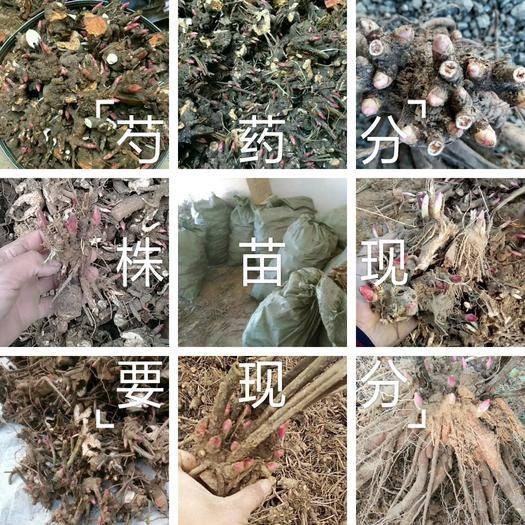 菏澤牡丹區赤芍花 精品赤芍苗,分株苗,現要現分,保成活,保品種
