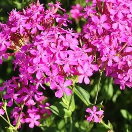宿迁宿豫区高雪轮种子 高雪伦花卉公园庭院大面积种植花海。