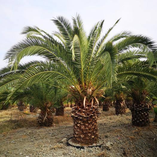 漳浦縣加拿利海棗 自家地種的,挖溝種溝岸單排,樹型壯碩,圍徑80-110公分。