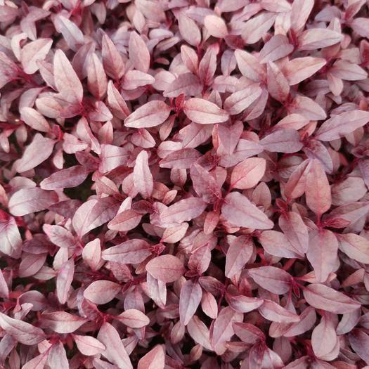 合肥包河區 三色堇 酸膜葉 火紅苗 香菜苗玉米苗甜菜苗