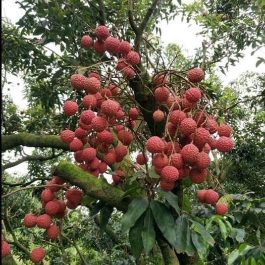 茂名高州市白糖罂荔枝 基地直销,桂味、白腊、黑叶、白糖罂等等品种