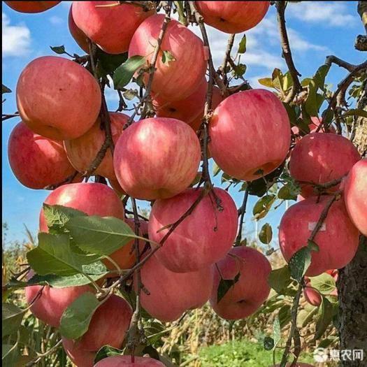 西安 包郵當季熱銷 陜西新鮮蘋果冰糖心紅富士脆甜5斤10斤整箱