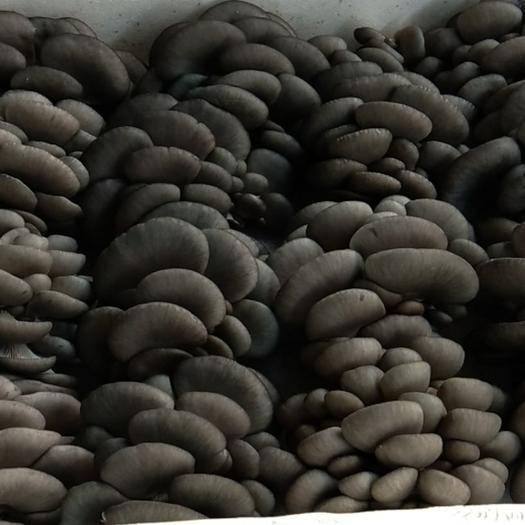 北京房山鲜平菇 4cm以下