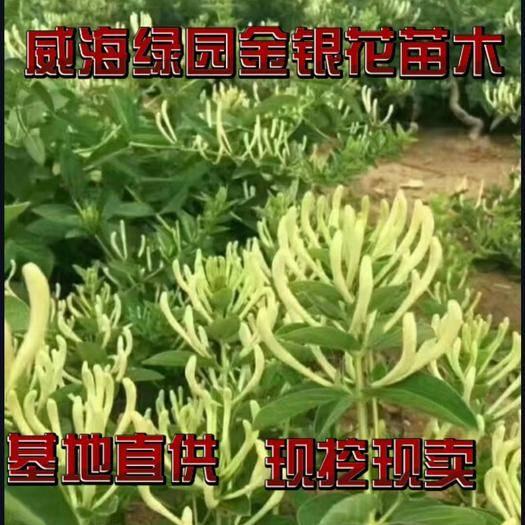 威海荣成市 北花一号金银花苗,基地直供,包回收,包技术