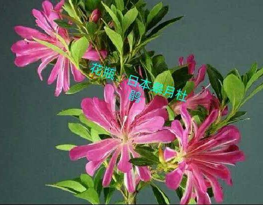 龙岩武平县杜鹃苗 日本进口皋月杜鹃袋苗,花瓶夏鹃,名贵稀有品种