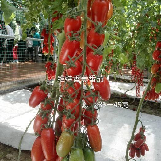 潍坊寿光市串番茄 红色香蕉柿子籽香蕉番茄种子长香蕉柿子种子特色番茄种子蔬菜种子