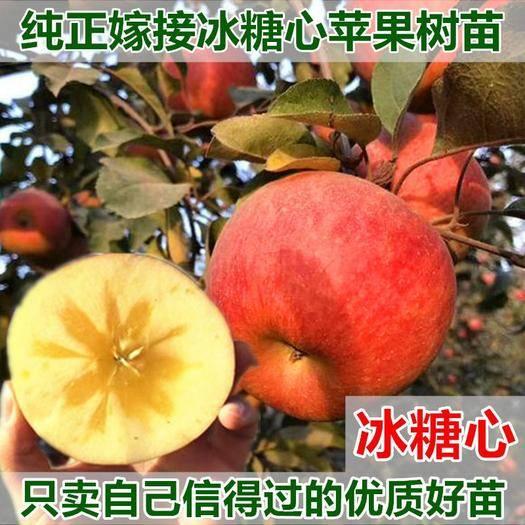 临沂平邑县冰糖心苹果苗 冰糖心苹果嫁接苗 包结果包成活 地里现挖现卖 量大优惠